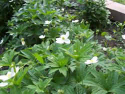 Anemone virginiana - Thimbleweed; photo jberckbickler; click to enlarge