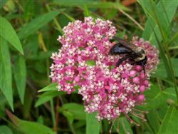 Asclepias incarnata - Swamp Milkweed; photo jberckbickler; click to enlarge