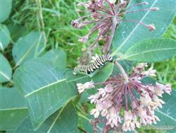 Asclepias syriaca - Common Milkweed; photo jberckbickler; click to enlarge