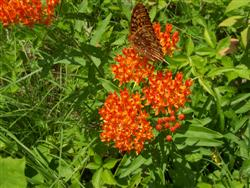 Asclepias tuberosa - Butterflyweed; photo jberckbickler; click to enlarge