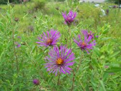 Aster novae-angliae - New England Aster_jberckbickler.jpg; photo jberckbickler; click to enlarge