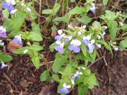Collinsia verna - Blue-eyed Mary; photo jberckbickler; click to enlarge