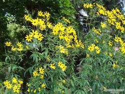 Coreopsis tripteris - Tall Tickseed; photo jberckbickler; click to enlarge