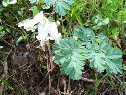 Dicentra canadensis - Squirrel Corn; photo jberckbickler; click to enlarge