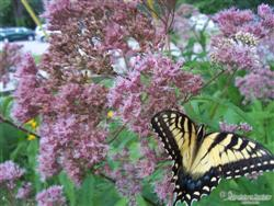 Eupatorium fistulosum - Joe-Pye Weed; photo jberckbickler; click to enlarge