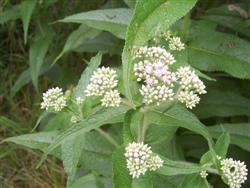 Eupatorium perfoliatum - Boneset; photo jberckbickler; click to enlarge