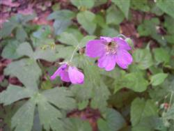Geranium maculatum - Wild Geranium; photo jberckbickler; click to enlarge