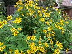 Heliopsis helianthoides - Oxeye; photo jberckbickler; click to enlarge