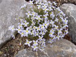 Houstonia caerulea - Bluets; photo jberckbickler; click to enlarge