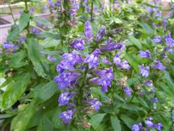 Lobelia siphilitica - Great Blue Lobelia; photo jberckbickler; click to enlarge