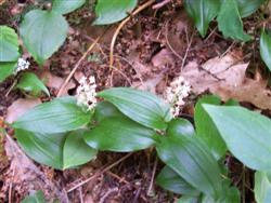 Maianthemum canadense - Canada Mayflower; photo jberckbickler; click to enlarge