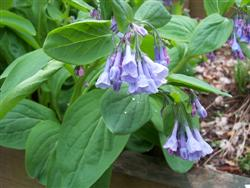 Mertensia virginica - Virginia Bluebells; photo jberckbickler; click to enlarge