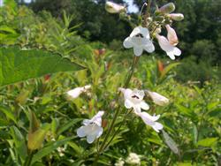 Penstemon digitalis - White Beardtongue; photo jberckbickler; click to enlarge