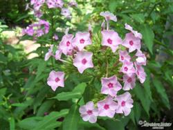 Phlox paniculata - Summer Phlox; photo jberckbickler; click to enlarge