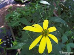 Rudbeckia laciniata - Green-headed Coneflower; photo jberckbickler; click to enlarge