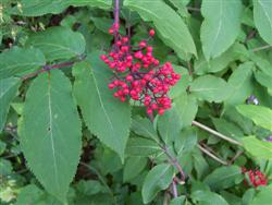 Sambucus racemosa ssp pubens - Red-berried Elder; photo jberckbickler; click to enlarge