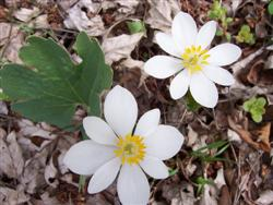 Sanguinaria canadensis - Bloodroot; photo jberckbickler; click to enlarge