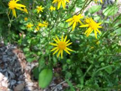 Senecio aureus - Golden Ragwort; photo jberckbickler; click to enlarge