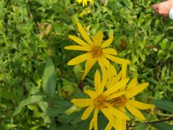 Silphium trifoliatum - Whorled Rosinweed; photo jberckbickler; click to enlarge