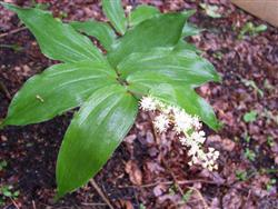 Smilacina racemosa - False Solomon's Seal; photo jberckbickler; click to enlarge