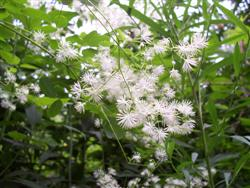 Thalictrum pubescens - Tall Meadow Rue; photo jberckbickler; click to enlarge