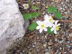 Thalictrum thalictroides - Rue anemone; photo jberckbickler; click to enlarge