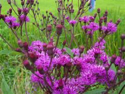 Vernonia noveboracensis - New York Ironweed; photo jberckbickler; click to enlarge