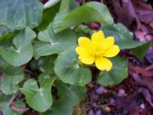Caltha palustris - Marsh Marigold