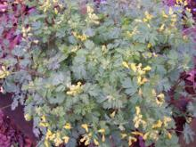 Corydalis flavula - Yellow Harlequin