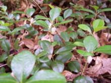 Gaultheria procumbens - Wintergreen