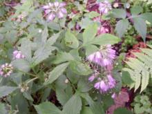 Hydrophyllum virginianum - Virginia Waterleaf