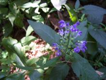 Scutellaria incana - Downy Skullcap
