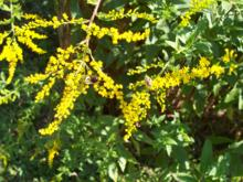 Solidago rugosa - Rough-stemmed Goldenrod