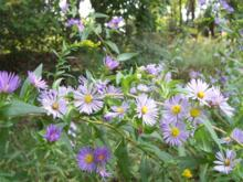 Symphotrichum puniceum - Purple-stemmed Aster